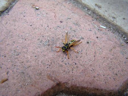parasites: wasps,insects of the suborder stabilizatoriumi,stinging stabilizatoriumi. Stock Photo