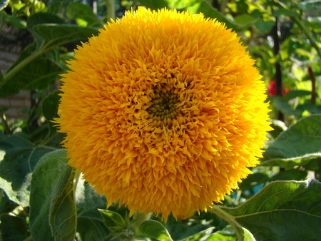 A type of sunflowernflower yellow flower can be of different a type of sunflowernflower yellow flower can be of different types as a decorative mightylinksfo