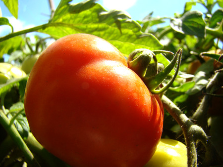 herbaceous plant: tomatoes,vegetable,berry of the nightshade family,is a herbaceous plant.