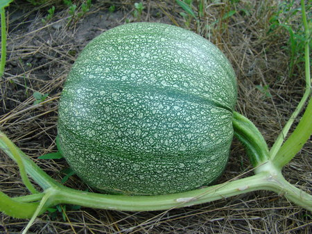 cucurbitaceae: the ordinary pumpkin growing in the garden,a genus of herbaceous plants of the family Cucurbitaceae. Stock Photo