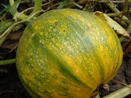 cucurbitaceae: ordinary pumpkin growing in the garden,a genus of herbaceous plants of the family Cucurbitaceae.
