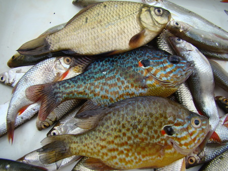 roach: caught fish,sun fish or eared perch,roach,species of fish. Stock Photo