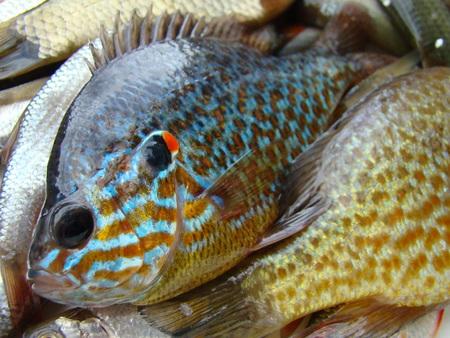 sunfish: caught fish,sun fish or eared perch,roach,species of fish. Stock Photo