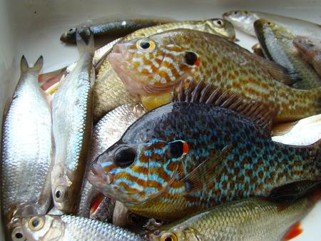 caught fish,sun fish or eared perch,roach,species of fish. Фото со стока