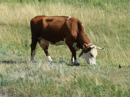domesticated: Cow grazing in a Sunny meadow,cloven-hoofed domesticated animal.