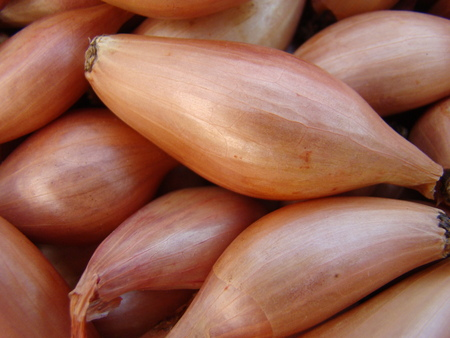 widely: Shallot,a perennial herb widely distributed vegetable crops.