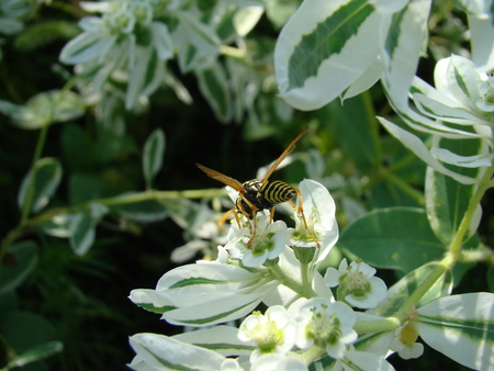 stinging: wasps,insects of the suborder stabilizatoriumi,stinging stabilizatoriumi. Stock Photo