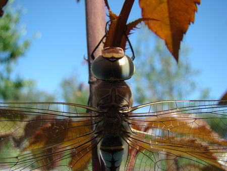 arthropods: dragonfly sits on the stalk posing for the camera. Stock Photo