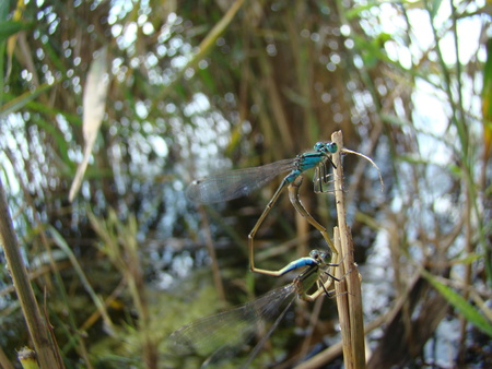 inhabit: dragonfly,the Carnivora, a well-flying insects that inhabit the river pools and ponds.