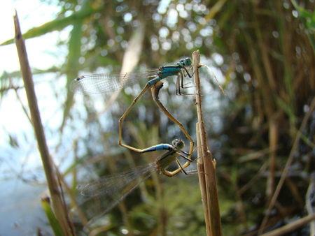 carnivora: dragonfly,the Carnivora, a well-flying insects that inhabit the river pools and ponds.