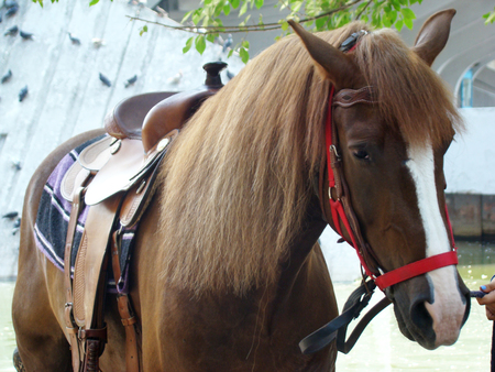 tame: Horse — adult tame male horses.