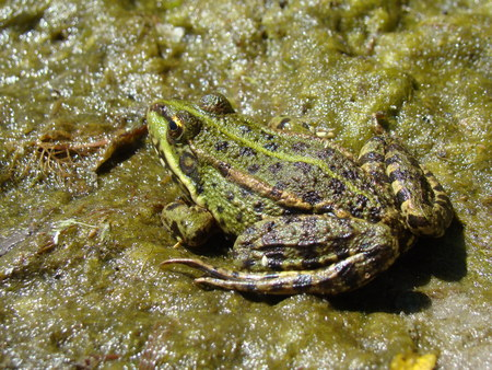amphibians: frog lake,view of tailless amphibians of the family of true frogs