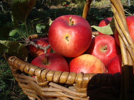 wicker basket filled with ripe red apples Stock Photo