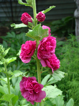 malvaceae: mallow is a herbaceous plant, typical genus of the family Malvaceae