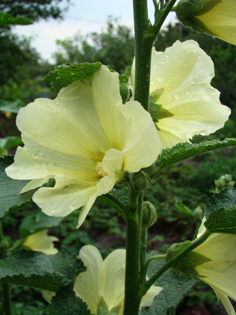 herbaceous  plant: mallow is a herbaceous plant, typical genus of the family Malvaceae