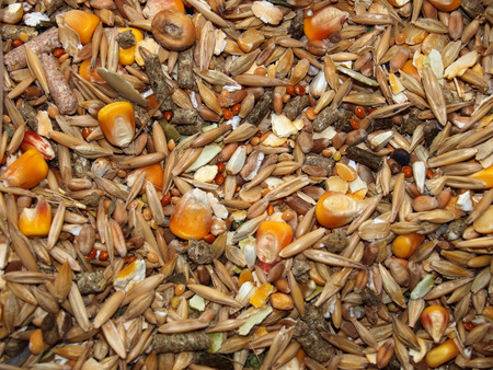 rodents: collection of different species of cereals,forage for rodents
