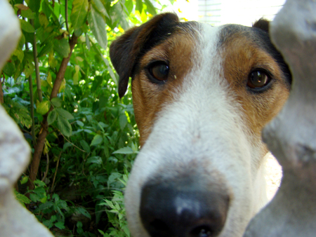 beagle terrier: Kind of smooth-haired Fox Terrier.hunting dog Stock Photo