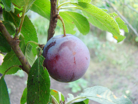 maturation: plum fruit hanging on a tree in the process of maturation