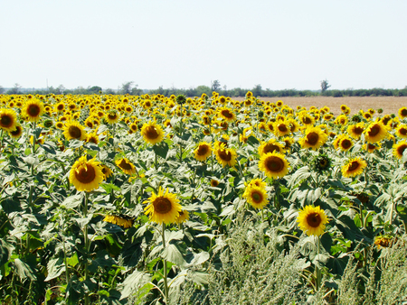 Sunflower ? the popular name of plants of the family Asteraceae ????????? ?GoogleBing