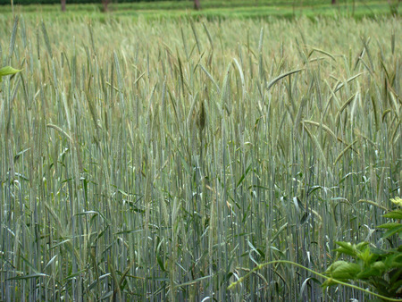 widespread: barley spike widespread cereal crop the cereal family. Stock Photo