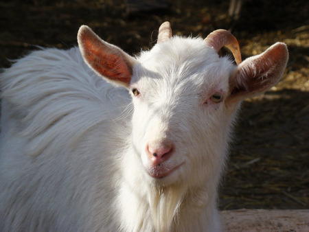 ungulate: goat, dairy goat, white goat, horned goat, domestic animals, mammal, animal, agriculture, natural, even-toed ungulate, view, Stock Photo