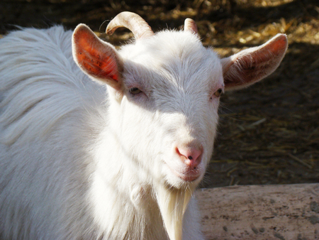 domestic animals: goat, dairy goat, white goat, horned goat, domestic animals, mammal, animal, agriculture, natural, even-toed ungulate, view, Stock Photo