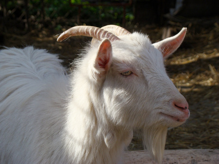 animals horned: goat, dairy goat, white goat, horned goat, domestic animals, mammal, animal, agriculture, natural, even-toed ungulate, view, Stock Photo