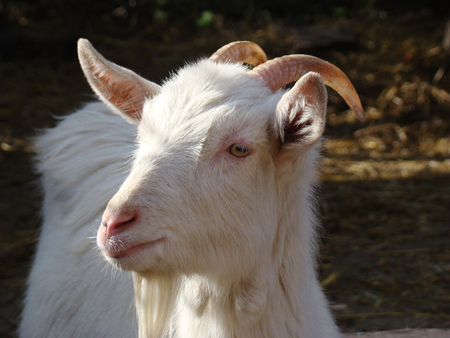 domesticated: goat is one of the first domesticated animals