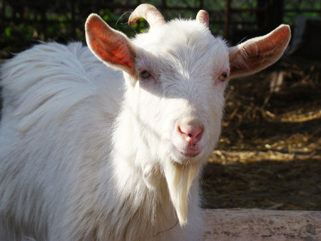 ungulate: goat is one of the first domesticated animals