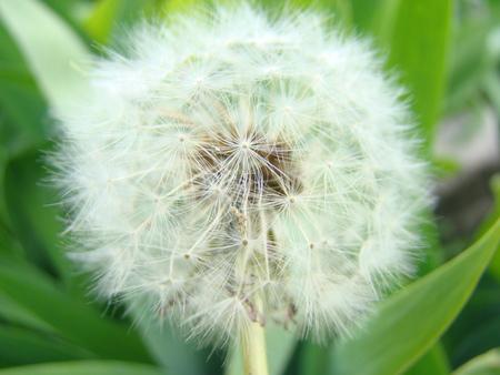 dandelion field: dandelion field of medicinal, flowering plant