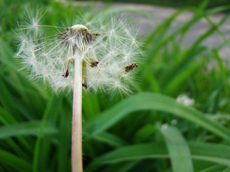 dandelion field: dandelion field of medicinal,flowering plant