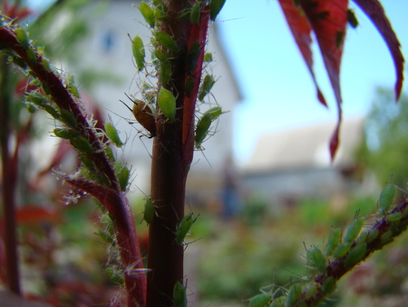 aphid: the aphid feeds on young shoots of the plant