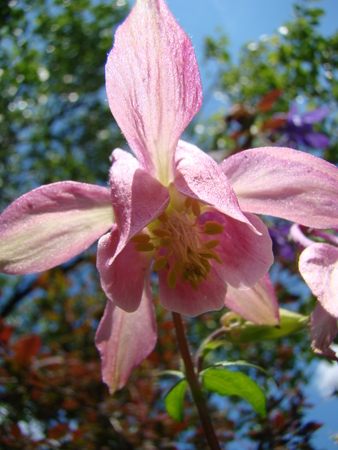 pink columbine: Aquilegia blooming flower of pink color Stock Photo