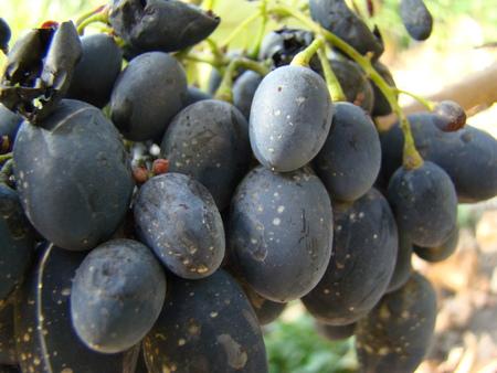 maturation: ripe fruit of grapes,varieties, Stock Photo