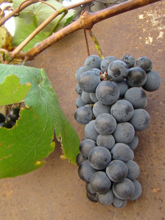 maturation: ripe fruit of grapes,varieties, Stock Photo
