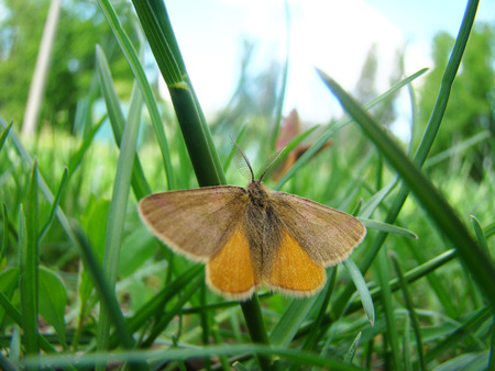 to flit: a moth is sitting in the grass with its wings outstretched