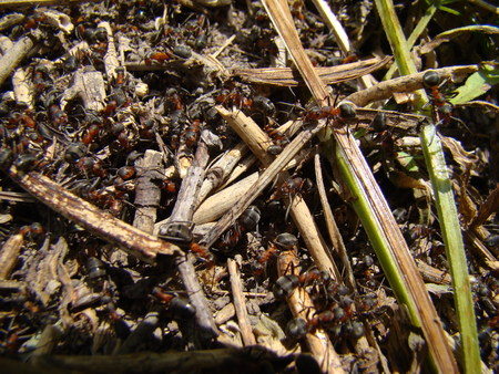 anthill: ants in the anthill are many working individuals Stock Photo