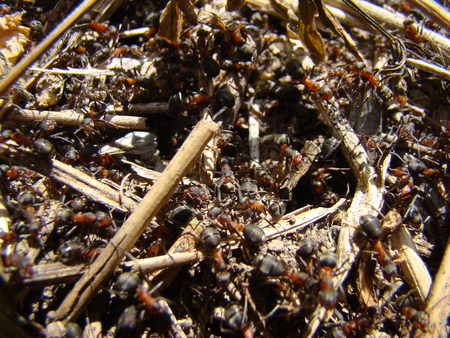 individuals: ants in the anthill are many working individuals Stock Photo