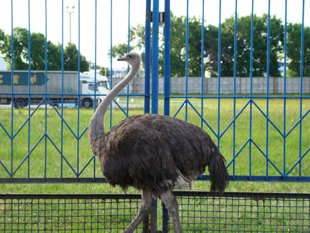 flightless bird: African ostrich is the largest flightless bird