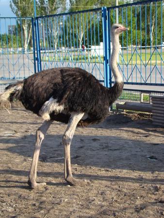flightless: African ostrich is the largest flightless bird