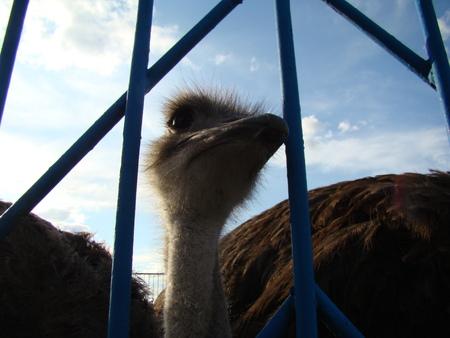 flightless bird: African ostrich is the largest flightless bird