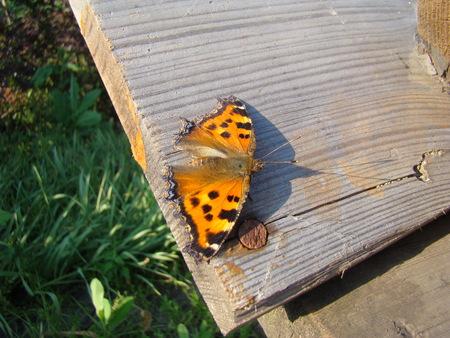 pokrzywka: butterfly urticaria sits on a wooden Board