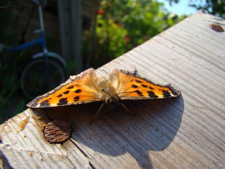 pokrzywka: pokrzywka Motyl siedzi na drewnianej desce