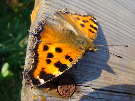 pokrzywka: butterfly urticaria sits on a wooden Board