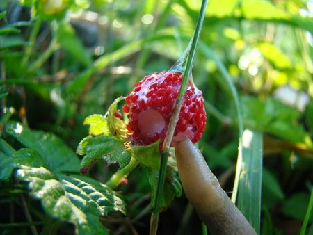 gastropod: slug eating a strawberry,a pest of gardens,gastropod mollusk.