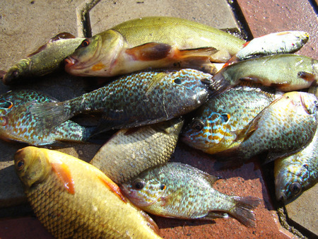 tench: river fish of different species caught on the fishing