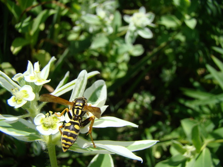 harmful: wasps-wishing harmful insects are common throughout Europe.