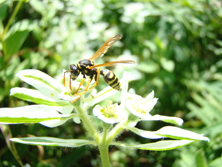 throughout: wasps-wishing harmful insects are common throughout Europe.