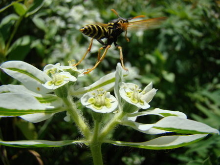 the throughout: wasps-wishing harmful insects are common throughout Europe.