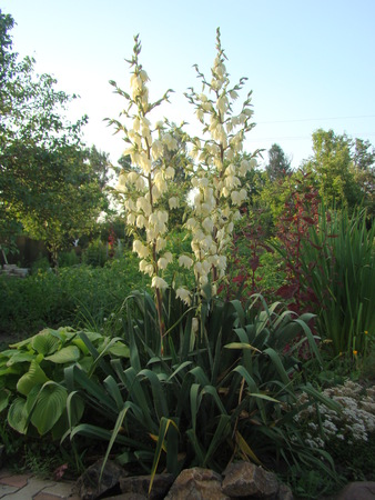 yucca: Filamentous Yucca is a perennial evergreen tree Stock Photo